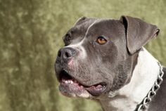 She's beautiful! Blue Bonnet is an adoptable Boxer Dog in Polson, MT. Blue Bonnet is a very sweet girl about 2 years old. She has the body and face of a Boxer and the colors and smile of an American Staffordshire Terr...