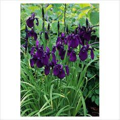 Iris ensata (syn. E. kaempferi) - Japanese Iris ~ Beardless ~