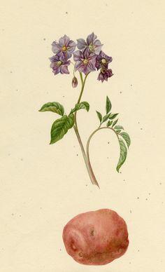 Flower and potatoe - Dorf - Tattoo Botanical Art, Botanical Illustration, Potato Tattoo, Potato Picture, Koala Tattoo, Game Of Thrones Tattoo, Potato Print, Plant Tattoo, Flower Tattoos