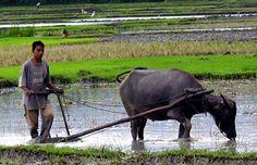 Hasil pembajakan menggunakan kerbau atau sapi lebih baik daripada mesin traktor, karena kaki-kaki sapi atau kerbau ini juga membantu dalam proses penggemburan tanah.