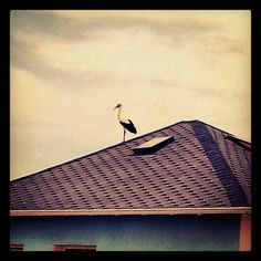 A stork in  the roof