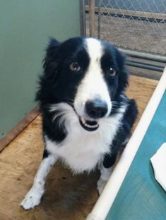 ADOPTED!!  Freeport FL - Jason is an adoptable border collie searching for a forever family;  LOCATED @ Alaqua Animal Refuge, Freeport FL
