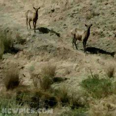 The #Elk are out near #Ryegrass watching all the traffic heading to #Watershed2015 at #TheGorge.  #ncwwildlife #wildlife #VantageWA #kittitas #I90 #NorthCentralWashington #ncwlove #ncwpics