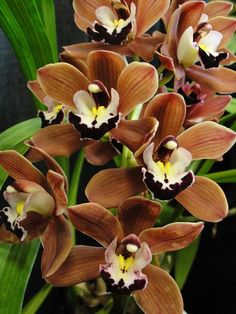 more Orchids.bronze orchids isn't mother nature wonderful to present us with such beauty. Unusual Flowers, Amazing Flowers, Beautiful Flowers, Beautiful Gorgeous, Cymbidium Orchids, Purple Orchids, Purple Flowers, Orchidaceae, Mother Nature