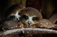 Птенцы совы. Фото: Ross Van der Watt