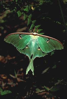 Luna moths are one of the largest species of moths that we have in our region — typically for a couple of weeks in the summer Moth Species, Plant Species, Beautiful Bugs, Beautiful Butterflies, Cute Moth, Large Moth, Moon Moth, Roman Gods, Mothman