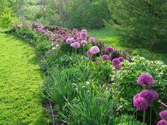 A Beginners Guide To Alliums   angiethefreckledrose.com