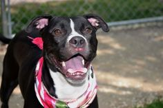 ♡ GONE BUT NEVER FORGOTTEN ♡  TO BE DESTROYED 05/07/15-Staten Island Center MARTINI – A1035161 FEMALE, BLACK / WHITE, PIT BULL MIX, 2 yrs STRAY – STRAY WAIT, NO HOLD Reason STRAY Intake condition EXAM REQ Intake Date 05/03/2015