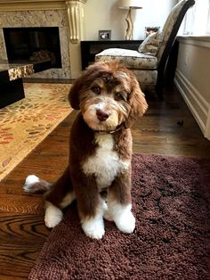 Dog Breeds The 7 Puppy Stages- Aussiedoodle and Labradoodle Puppies Chien Goldendoodle, Labradoodle Breeders, Australian Labradoodle Puppies, Bernedoodle Puppy, Labradoodles, Goldendoodles, Cockapoo, Austrailian Labradoodle, Miniature Labradoodle