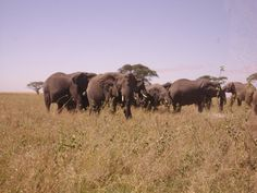 a herd of elephants in the Serengeti. Picture taken by Thomson Safaris staffer, Andrew