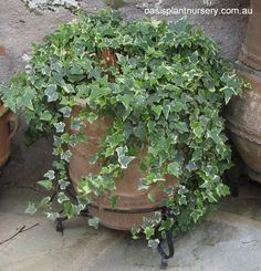 Hedera Helix, Hera, Plants For Hanging Baskets, Garden Structures, Potted Plants, Houseplants, Container Gardening, Ivy, Greenery