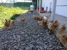 Little chicks free ranging