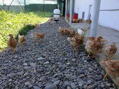 Little chicks free ranging