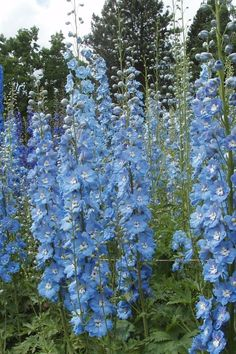 Delphiniums at Wisley trial field