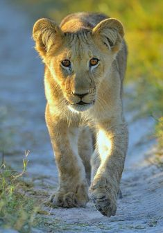 Lion chip off the old block !! A lion cub saunters along after his father at Nxabega Okavango Tented Camp in Botswana by John Kok Photography