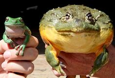 A green Pixie next to an African bull frog.   Paige would love theses!