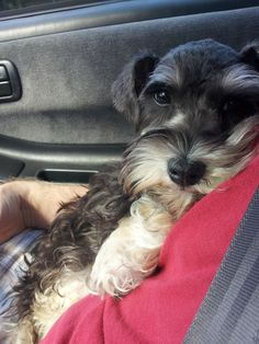 Dunkel Muffin what a cute name and a darling little mini Schnauzer puppy, just so so adorable❤️