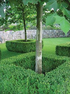 boxwood around tree bases.  Such a good idea as it is so hard to mow around the base of trees.  And boxwood ALWAYS looks stunning...