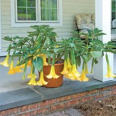Angel's Trumpet 'Angel's Summer Dream' p.p.a.f. (Brugmansia hybrid) - Brugmansia - Browse by Botanical Name
