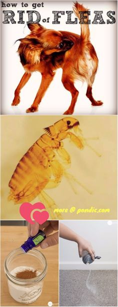 Are you looking for an easy way to make your dogs or cats flea free? You will love these Home Remedies To Get Rid Of Fleas from your pets and home. What causes a flea infestation? Most people get fleas through their pets. The pets may get fleas when they Cat Flea Remedy, Home Remedies For Fleas, Flea Treatment For House, Dog Flea Treatment, Flea Medicine For Dogs, Natural Flea Killer, Flea In House, Cat Fleas, Animales