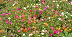 https://www.paradisverde.ro/gradina-de-flori/esentialul-despre-portulaca-floarea-de-piatra