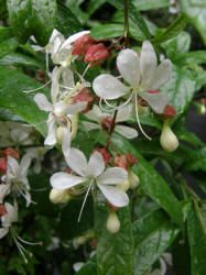 Clerodendron wallichi Garden Care, Climbers, Perennials, Plants, Design, Nursing Care, Planters, Perennial