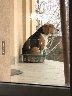 Beagle thinks he's a flower