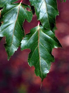Acer ginnala -- Amur Maple
