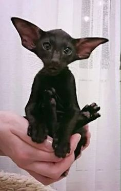 interesting look Click the Photo For More Adorable and Cute Cat Videos and… Wow! interesting look Click the Photo For More Adorable and Cute Cat Videos and Photos I Love Cats, Crazy Cats, Cool Cats, Cute Baby Animals, Animals And Pets, Funny Animals, Beautiful Cats, Animals Beautiful, Oriental Shorthair Cats