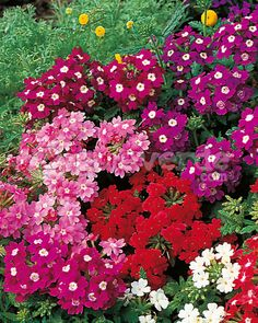verbena x hybrida - Bing Images Flower Petals, Flower Beds, Pink Flowers, Flower Meanings, Gladiolus, Garden Care, Day Lilies, Tropical Plants, Gardens