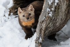 Photo by Jeff Wendorff. Winter Photography, Wildlife Photography, Animal Photography, American Marten, Pine Marten, Photography Workshops, Otters, Brown Bear, Cats