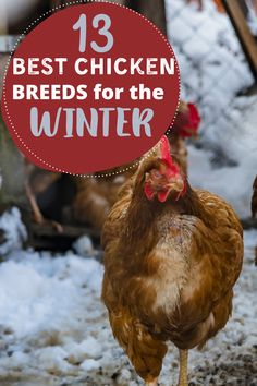 Not all chicken breeds are ideal for cold climates. These 13 chicken breeds are cold hardy and handle the cold weather best. If you live somewhere with cold weather, add a few of these cold hardy chicken breeds to your backyard chicken flock. #chickens #cold #breeds