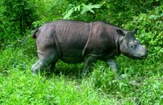 Tam, here at Borneo Rhino Sanctuary in Sabah, may be the world's last male Bornean rhino and one of the last Sumatran rhinos. Photo by: Jeremy Hance.