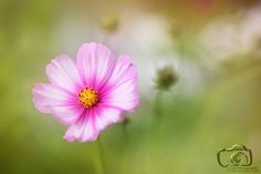 When the wind blows softly.... - A pink and white colored cosmos flower at a soft colored background.