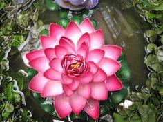 Hoa Sen lothus
