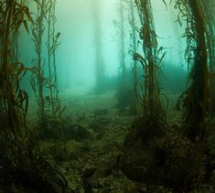 Google Image Result for http://www.scuba-tutor.com/diving-environment/dive-sites/images/kelp-forest.jpg