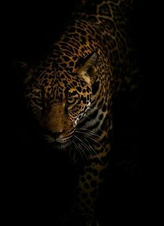 Jaguar by Jonathan Truong amazing car picture # # Nature Animals, Animals And Pets, Cute Animals, Wild Animals, Fierce Animals, Tiger Wallpaper, Animal Wallpaper, Jaguar Wallpaper, Leopard Wallpaper