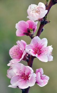 ✿ܓSure sign of Spring. Spring Blossom, Blossom Flower, Flower Art, Amazing Flowers, Beautiful Flowers, Cherry Flower, Blooming Trees, Floral Drawing, Art Japonais