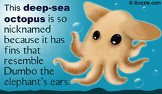 Dumbo octopus fact