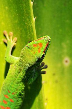 gecko-on-tropical | download iPhone iPad wallpaper at freeios7.com