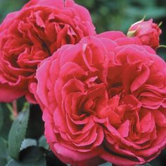 """""""Lady of Megginch"""" Large, 4-5"""" deep pink cup-shaped flowers (petals 100) which start out having a tinge of orange, are produced on a repeat blooming plant with medium matte green foliage. Strong raspberry/old rose fragrance."""