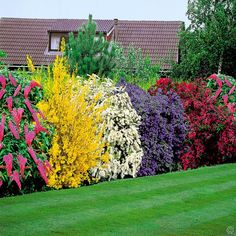 Flowering Shrubs Hedge - 5 beautiful bushes to plant in the yard. good for privacy and very easy on the eye! such pretty colors! buddiea(pink),forsythia spectabilis(yellow), spirea arguta(white), ceanothus yankee point(blue), and weigelia(burgundy) Planting Shrubs, Garden Shrubs, Lawn And Garden, Planting Flowers, Hedging Plants, Planting For Privacy, Potted Plants, Garden Tips, Bushes And Shrubs