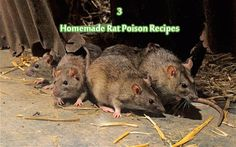 3 Homemade Rat Poison Recipes