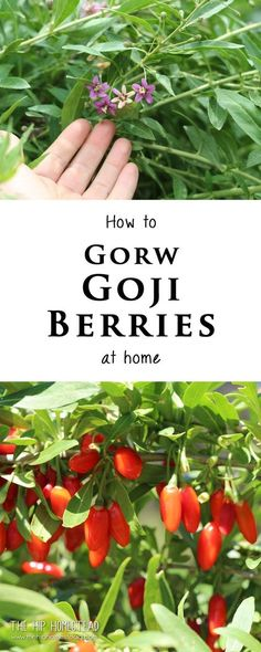 How to grow Goji Berries at Home - The Hip Homestead