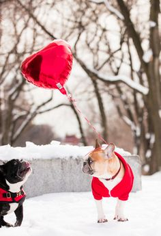 French Bulldogs on Valentines Day. Happy Valentine's Day Friend, Valentines Day Dog, Bullen, Dog Life, Puppy Love, Puppy Play, Cute Dogs, Dog Lovers, Dog Cat