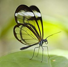The Glasswinged butterfly: