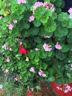 Flores besitos (pasto, Nariño)