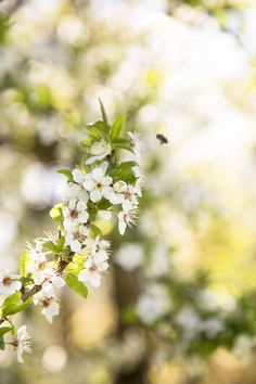 New blossoms on a cherry tree and a blurry bumblebee.