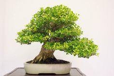 More highlights from REBS' annual show - Bonsai Tonight Boxwood Bonsai, Bonsai Trees, Herbs, Flowers, Pictures, Gardens, Plants, Photos, Bonsai