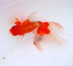 New kinds goldfish:EggFish with Phoenix Tail
